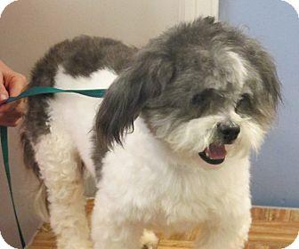 Syracuse Ny Shih Tzu Meet Tobi A Pet For Adoption