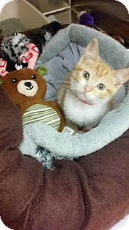 Domestic Shorthair Kitten for adoption in Flower Mound, Texas - Phoebe