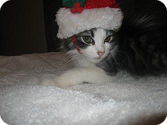 Domestic Mediumhair Kitten for adoption in Lakeland, Florida - Theo