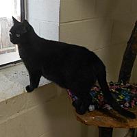 Adopt A Pet :: Licorice - Huntsville, AL