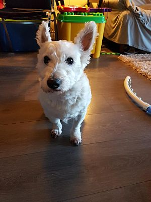 Surrey Bc Westie West Highland White Terrier Meet Noopy A Pet For Adoption