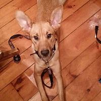 Labrador Retriever/Shepherd (Unknown Type) Mix Dog for adoption in Woodstock, Ontario - Sara