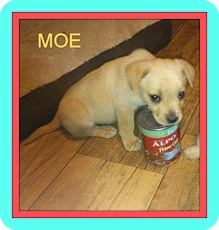 Corpus Christi Tx Pomeranian Meet Moe A Pet For Adoption