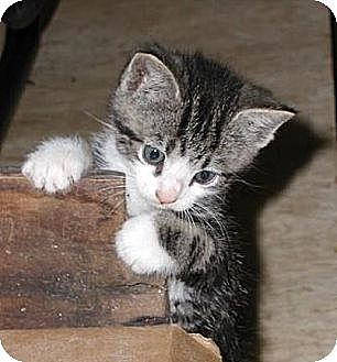 Grey And White Cat With Black Stripes