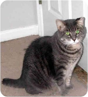 Domestic Shorthair Cat for adoption in Xenia, Ohio - Conan