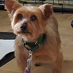 Yorkie Yorkshire Terrier Puppies For Sale In Missouri