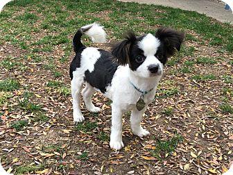 Papillon/Maltese Mix Puppy for adoption in La Mirada, California - Abby