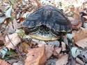 Adopt a Pet :: Crush (Aquatic) - Kansas City, MO -  Turtle - Other/Turtle - Other Mix