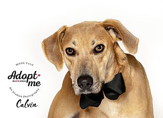Adopt A Pet :: Calvin  - Houston, TX