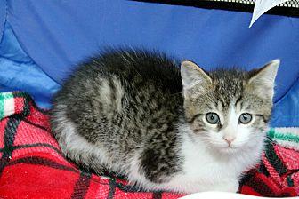 Adopt A Pet :: Dimitri  - Troy, MI