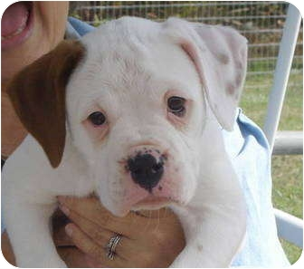 English American Bulldog Mix Puppies For Sale - Goldenacresdogs com