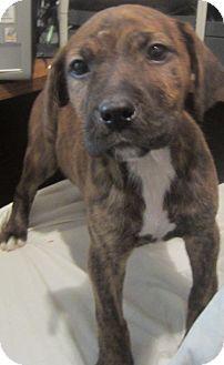 Detroit Mi Boxer Meet Honeybun A Pet For Adoption