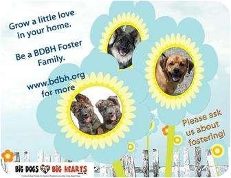 German Shepherd Dog/Labrador Retriever Mix Puppy for adoption in Rochester/Buffalo, New York - Foster
