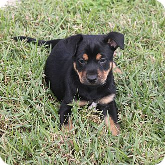 Loxahatchee Fl Beauceron Meet Jackson A Pet For Adoption