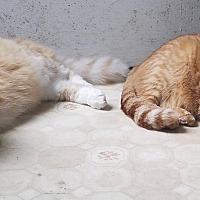 Adopt A Pet :: Buzz (COURTESY POST) - Baltimore, MD