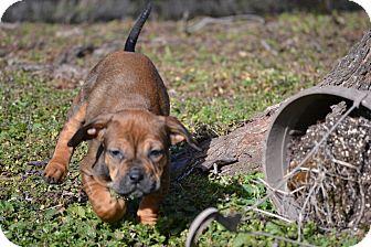 Hound (Unknown Type)/Bulldog Mix Puppy for adoption in Richmond, Virginia - Vito