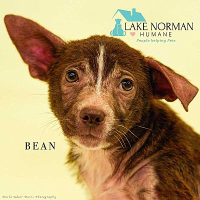 Mooresville Nc Feist Meet Bean A Dog For Adoption