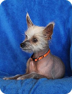 Wichita Ks Chinese Crested Meet Lizzy A Pet For Adoption