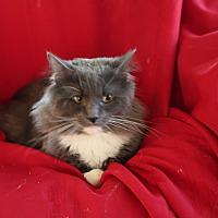Persian Kittens for Sale in Virginia - Adoptapet com
