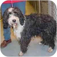North Wilkesboro, NC - Standard Poodle  Meet Samantha a Pet