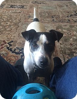 Jack Russell Terrier Dog for adoption in Austin, Texas - Winston in San Antonio