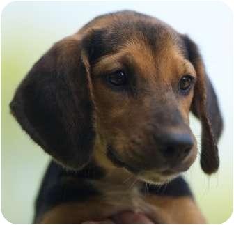 Boxer Puppies Rhode Island