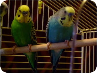 Budgie for adoption in Mantua, Ohio - CLYDE AND DALE