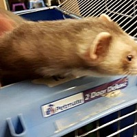 Adopt A Pet :: Freya - Edmonton, AB