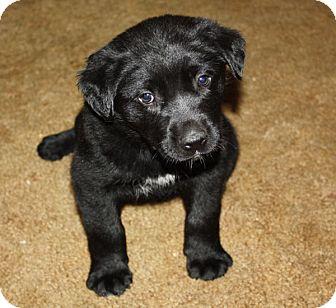 Kennebunkport Me Labrador Retriever Meet Suzy Q
