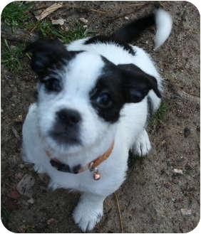 Boston Terrier Shih Tzu Mix Puppies For Sale - Goldenacresdogs com