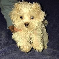 Shih Tzu Puppies for Sale in Nashua New Hampshire - Adoptapet com