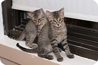 Domestic Shorthair Cat for adoption in Chicago, Illinois - Mike and Sue