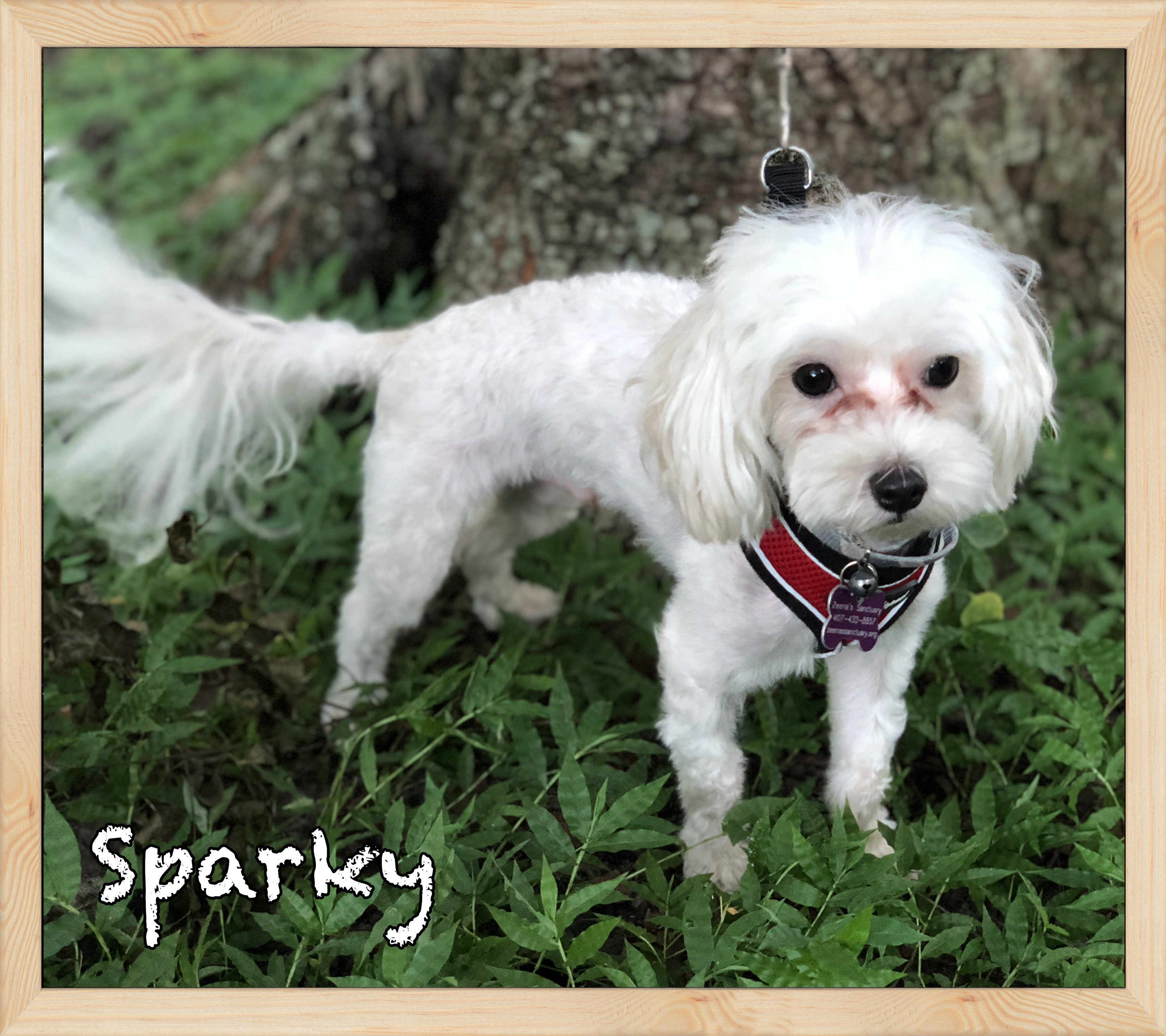 Orlando Fl Maltese Meet Sparky A Pet For Adoption