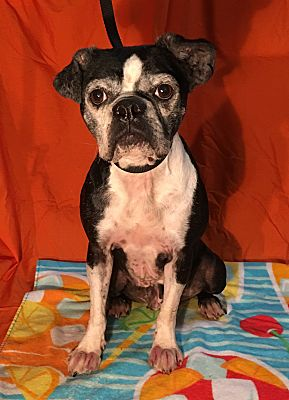 Indian Trail Nc Boston Terrier Meet Liberty A Pet For Adoption