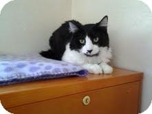 Domestic Shorthair Kitten for adoption in Modesto, California - Stanley
