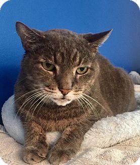 Manx Cat for adoption in Mount Pleasant, South Carolina - Cooper