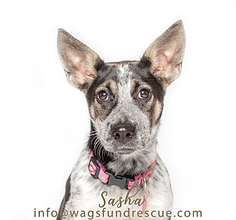 Adopt A Pet :: Sasha  - Houston, TX