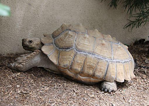 Newport Beach, CA - Tortoise  Meet MARVIN a Pet for Adoption