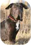 Basset Hound/Shar Pei Mix Dog for adoption in Lomita, California - Smoothie