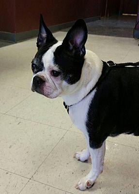 lexington, KY - Boston Terrier  Meet Mollie a Pet for Adoption