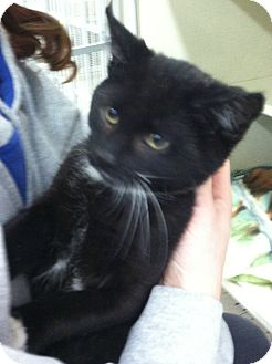 Domestic Shorthair Kitten for adoption in Riverhead, New York - Snitch