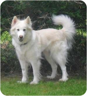 Sidney Bc Samoyed Meet Trixie A Pet For Adoption