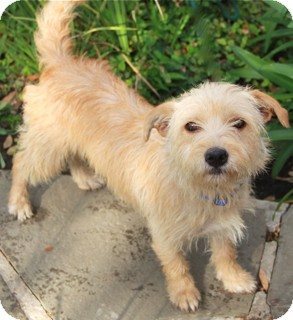 Norwalk, CT - Fox Terrier (Wirehaired). Meet Veronica - adoption ...