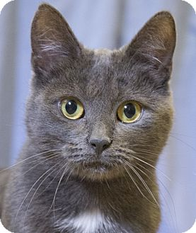 Russian Blue Cat for adoption in Chicago, Illinois - Ayla