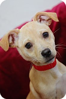 Terrier (Unknown Type, Small)/Chihuahua Mix Puppy for adoption in Fort Atkinson, Wisconsin - Patrick