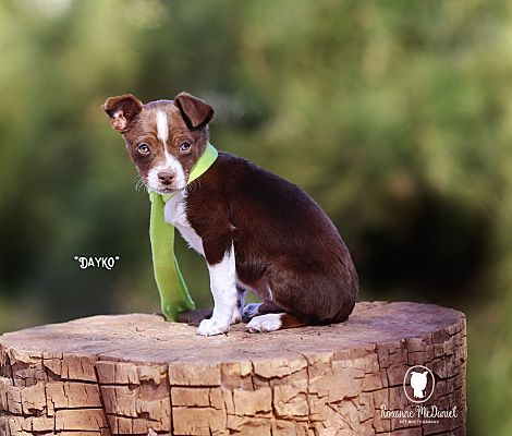 Lubbock Tx Mixed Breed Small Meet Dayko A Pet For Adoption