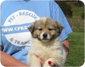 Westbrook, CT - Australian Shepherd  Meet Treasure a Pet for