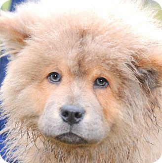 Wakefield Ri Chow Chow Meet Kongadorable Chow Chow Pup A Pet
