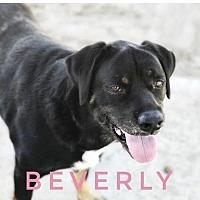 Adopt A Pet :: Beverly - Ocala, FL