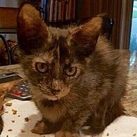 Adopt A Pet :: Kiki - Arlington/Ft Worth, TX
